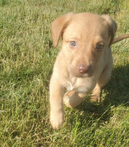 Labrador/ German Shepherd puppies