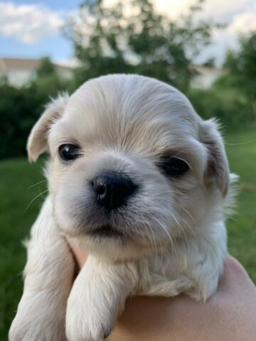 EXCLUSIVE longhaired purebred chihuahua puppy girl