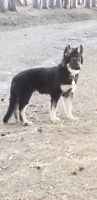 Dark shiloh shepherd puppies for sale, great watch dogs, social.