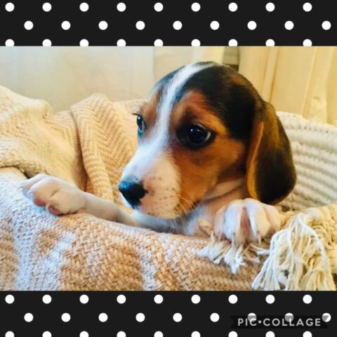 Purebred Beagle Pups!