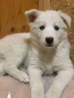Purebred Siberian Husky Puppies for sale