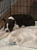 Boston puppy's