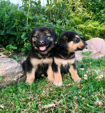 German Shepherd / Border Collie puppies