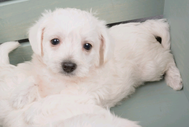 Westie-Poo Puppies Ready (West Highland Terrier x Poodle)