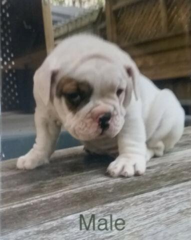 Litter of Bulldog puppies