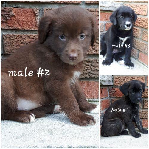 Lab collie x puppies