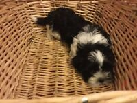 Beautiful Purebred Shih Tzu puppies