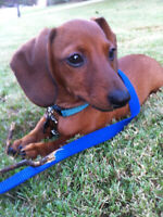 Cute and adorable pure bred dachshund puppies