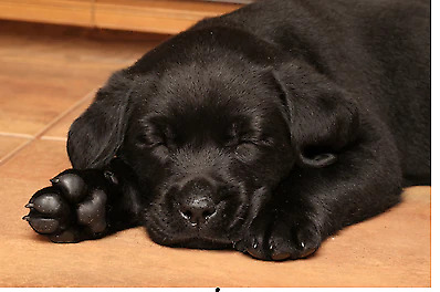 cute little Male Black Lab Puppy for Rehoming