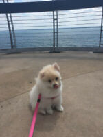 Adorable White Pomeranian Puppy! Available immediately!