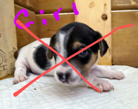 *****ALL SOLD*****Jacksund puppies