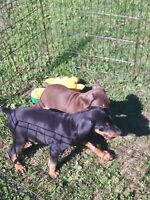 Doberman puppies READY TO GO