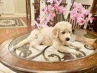 Beautiful Golden Retriever Puppy