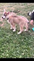 Husky puppy (9 week old)