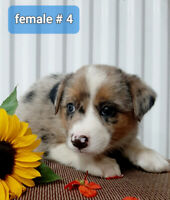 Australian Shepherd X puppies for sale