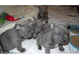 Outstanding  blue and Soild French Bulldogs Have Arrived !!!!
