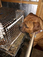 Purebred Male bull mastiff with papers