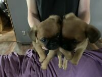 Puppies Bruxelles griffon