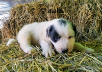 Great Pyreneese Pups