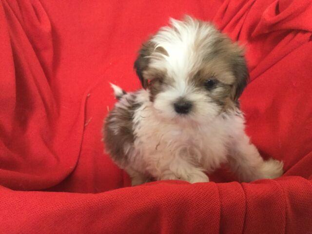 ShiChon ( Shih Tzu X Bichon ) puppies