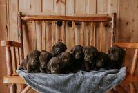 Purebred Chocolate/Purebred Fox Red Lab Puppies