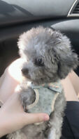 Super tiny silver teddy bears teacup poodle ready to rehome!!!