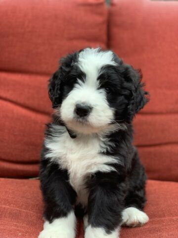 Adorable F1 Bernedoodle puppy available!