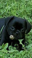 Pug Mini Pugs X pikinisse spaniel très intelligent et propre