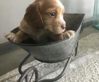 Sprocker spaniel puppies