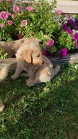 F1 Goldendoodle Puppies