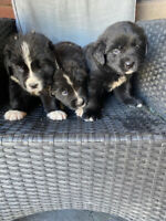 Newfoundland/Bernese Puppies for Sale