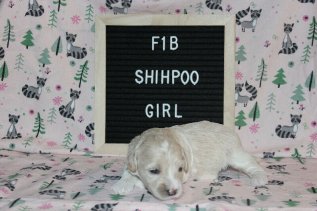 Stunning  F1B Shihpoo Puppies