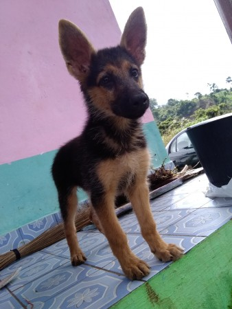 German Sheppard puppies for sale 3 months old