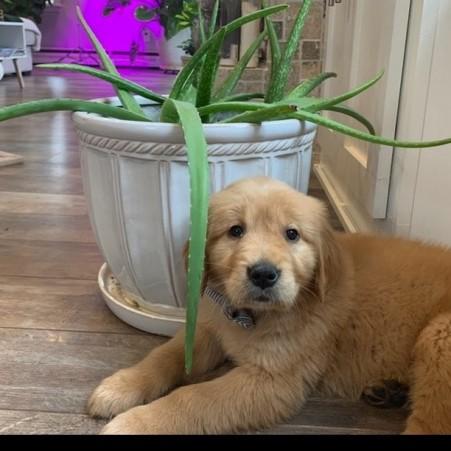 Pure bred golden retriever puppies.