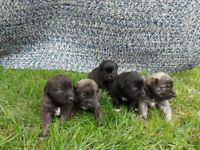 Retriever puppies for sale