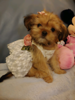 Beautiful Tiny SHORKIE PUPPIES ! ((Shih tzu / Silky Yorkie)) F1