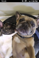French Bulldogs $4000