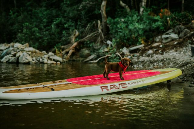 RARE PUPPIES !!!! Fox Red Lab /Chesapeake Bay Retriever