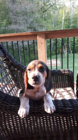 Purebred beagle  puppy
