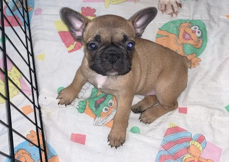 frenchies for sell