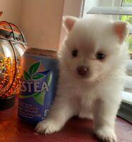 Teacup Teddy Bear Pomeranian puppies