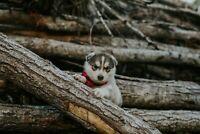 STUNNING Siberian Husky Pups