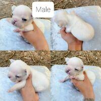 French bulldog puppies 2 males &2 females in Hamilton ...