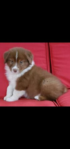 Beautiful Purebred Australian Shepherd Pup