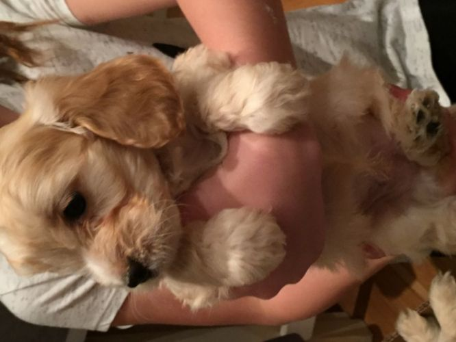 Stunnng Home Bred Cockapoo Babies Prcd/PRA And FN Clear