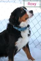 3 year old Bernese Mountain Dog