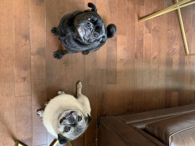 2 pugs for rehoming