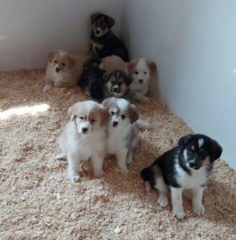 Australian Cross Puppies