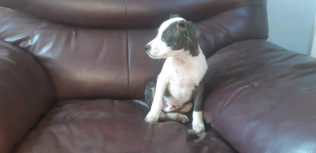 BOSTON TERRIER X PUPPIES FOR REHOMING!!!!!!!