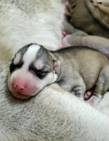 Beautiful family raised Siberian Husky puppies
